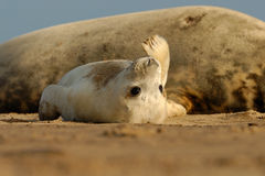 Grey Seal Pup. At Donna Nook Linconshire Royalty Free Stock Images