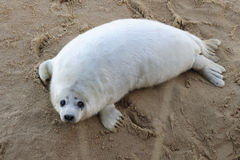 Grey Seal pup Royalty Free Stock Photo