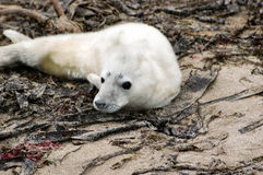 Grey Seal Pup. A very young grey seal pup not weaned from its mother yet and unable to swim. Pup died due to abandonment Royalty Free Stock Image