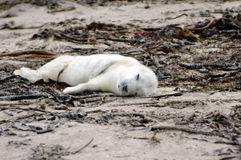 Grey Seal Pup. A very young grey seal pup not weaned from its mother yet and unable to swim Royalty Free Stock Photography