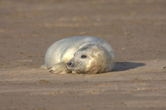 Grey seal pup Stock Photos