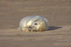 Grey seal pup. On the beach Stock Photos