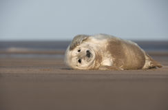 Grey Seal Pup. A young Grey Seal pup sratching the side of its' face with its' front flipper Stock Photography