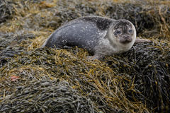 Free Grey Seal Pup Royalty Free Stock Image - 44677126