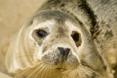 Grey Seal Pup. Rescued Grey Seal Pup (Halichoerus grypus) - shallow DOF - focus on eyes Royalty Free Stock Image