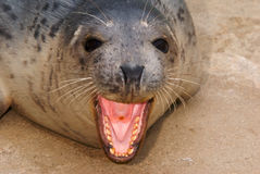 Grey Seal Pup. Rescued Grey Seal Pup (Halichoerus grypus) - shallow DOF - focus on eyes Stock Photography