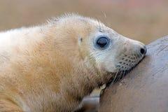 Grey Seal Pup atlántico (grypus del halichoerus) Foto de archivo