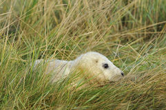 Grey Seal Pup atlantique Photo stock