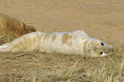 Grey Seal Pup atlantique Images libres de droits