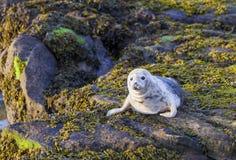 Grey Seal Pup. Stock Photos