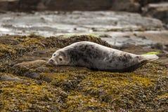 Grey Seal Pup. Royalty Free Stock Photo