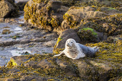 Grey Seal Pup. Stock Photography