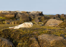 Grey Seal Pup. Royalty Free Stock Images