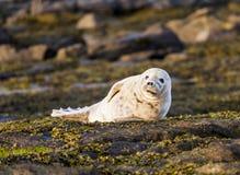 Grey Seal Pup. Royalty Free Stock Image