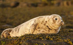 Grey Seal Pup. Stock Images
