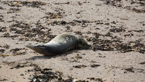 Grey seal pup on beach Royalty Free Stock Photo