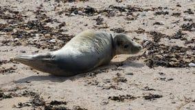 Grey seal pup on beach Stock Image