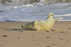A Grey Seal pup on the beach. A Grey Seal pup, Halichoerus grypus, on a sandy beach in the sunshine Stock Photos