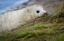 Grey Seal pup Stock Images