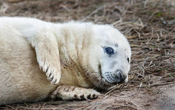 Grey Seal pup Stock Photo