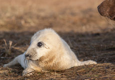 Grey Seal pup Stock Image