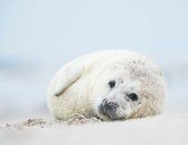 Grey seal pup Stock Image