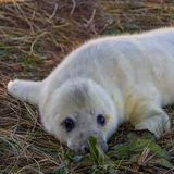 Grey seal pup at Donna Nook reserve royalty free stock image