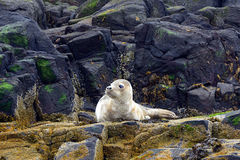 Grey seal pup, Farne Islands Nature Reserve, England Royalty Free Stock Image