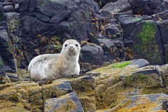 Grey seal pup, Farne Islands Nature Reserve, England Royalty Free Stock Photo