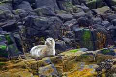 Grey seal pup, Farne Islands Nature Reserve, England Stock Images