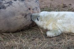 Grey Seal Pup Feeding stock afbeelding