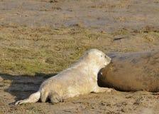 Grey Seal Pup Feeding atlántico Foto de archivo