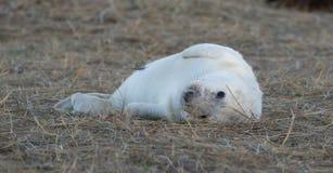 Grey Seal Pup Royalty Free Stock Photo