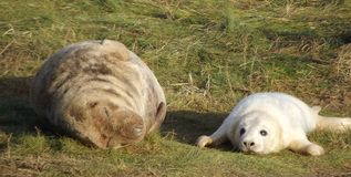 Grey Seal with pup. Grey seal with her pup at Donna Nook,Lincolnshire UK Stock Photo