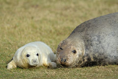 Grey Seal with pup. Grey Seal pup laying in the grass with mother royalty free stock photography