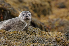 Grey seal pup Royalty Free Stock Image
