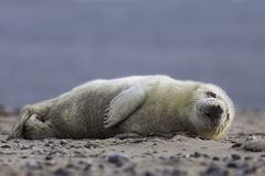 Grey seal pup stock photography