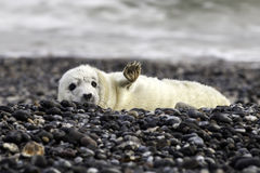 Grey seal pup Royalty Free Stock Photos