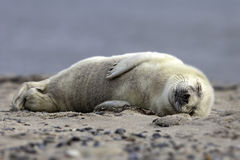 Grey seal pup. Lying on the beach of Helgoland Stock Photo