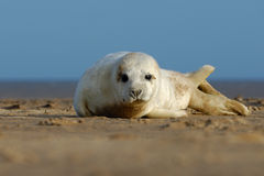 Grey Seal Pup Portrait. Grey Seal pup at Donna Nook, Lincolnshire Stock Photography