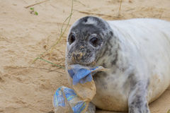 A Grey Seal pup with Rubbish. A Grey Seal pup, Halichoerus grypus, with a piece of plastic rubbish on a sandy beach Stock Photo