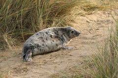 Grey seal pup in the sand dune. Grey Seals Horsey Beach and Dunes Around half of the world's population of grey seals are found around Britain, therefore royalty free stock images