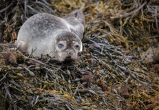 Grey seal pup. On Scottish shores covered in kelp Stock Images