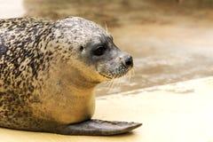 Grey Seal Pup Royalty Free Stock Image