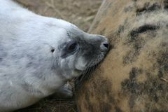 Grey Seal Pup Suckling photographie stock