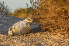 Grey seal pup in the sunset light of Norfolk Royalty Free Stock Photos