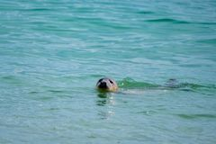A grey seal pup swimming in clear water Stock Photo