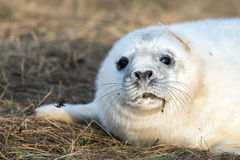 Grey seal puppy while looking at you Royalty Free Stock Photo
