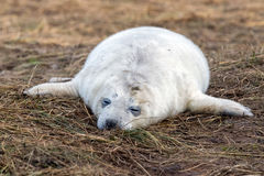 Grey seal puppy while relaxing on the beach in Great Britain Stock Photography