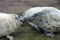 Grey Seal Pups Sniffing arkivbild